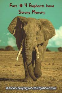 Fact # 4 Elephants have strong memory