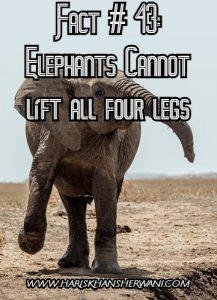 Fact # 43: Elephants Cannot lift all four legs